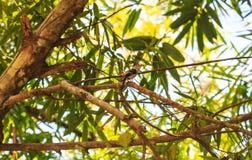 Broadbill de la plata-breasted en rama de árbol en bosque Imagen de archivo libre de regalías
