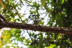 Broadbill de la plata-breasted en rama de árbol en bosque Imagenes de archivo