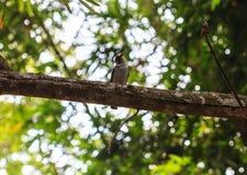 Broadbill de la plata-breasted en rama de árbol en bosque Fotografía de archivo