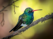 Broadbill-Kolibri-Gelb-Hintergrund stockbilder