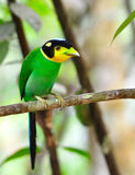 Broadbill Long-tailed Imagem de Stock Royalty Free
