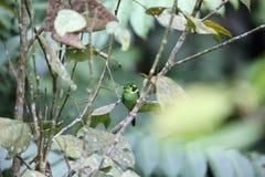 Broadbill Long-tailed Images libres de droits