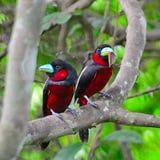 Broadbill Negro-y-rojo Imagenes de archivo