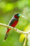 Broadbill Negro-y-rojo Foto de archivo libre de regalías