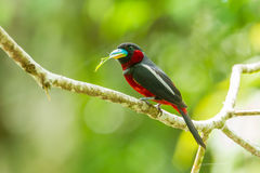 Broadbill Negro-y-rojo Foto de archivo