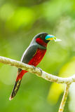 Broadbill Noir-et-rouge Photo libre de droits