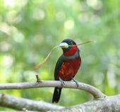 Broadbill Preto-e-vermelho Fotos de Stock Royalty Free