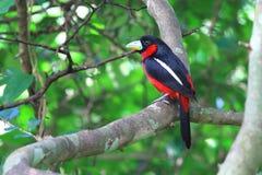 Broadbill Preto-e-vermelho nos ramos foto de stock