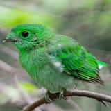 Broadbill verde femenino Fotos de archivo