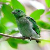 Broadbill verde femenino Imagenes de archivo