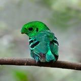 Broadbill verde masculino Foto de archivo