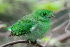 Broadbill vert femelle Photo stock