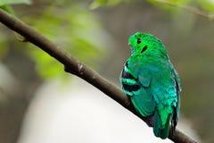 Broadbill vert masculin Photographie stock libre de droits