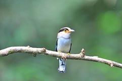 Broadbill Vogel Stockbilder