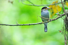 Broadbill Vogel (Silber-breasted) Stockfotografie