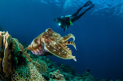 Broadclub乌贼乌贼属latimanus在哥伦打洛市,印度尼西亚水下的照片 免版税库存图片