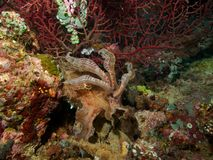 Broadclub bläckfisk Arkivfoto