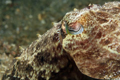 Broadclub Cuttlefish Stock Photos