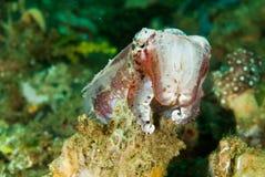 Broadclub cuttlefish in Ambon, Maluku, Indonesia underwater photo Royalty Free Stock Photo