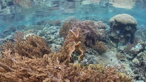 Broadclub Cuttlefish Camouflaged. A Broadclub cuttlefish blends into a coral reef in Raja Ampat, Indonesia. This region is within the Coral Triangle and harbors stock footage