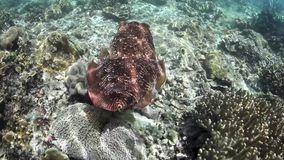 Broadclub Cuttlefish Changing Color. An adult Broadclub cuttlefish (Sepia latimanus) hovers above a shallow reef in Indonesia. This species can change both its stock video