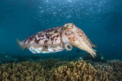 Broadclub Cuttlefish Hovering Over Reef in Indonesia stock photos