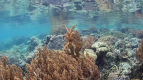 Broadclub Cuttlefish Hovering Over Shallow Reef. A Broadclub cuttlefish blends into a coral reef in Raja Ampat, Indonesia. This region is within the Coral stock footage