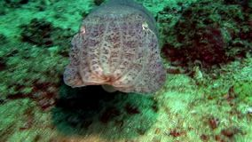 Broadclub cuttlefish in Indonesia stock video