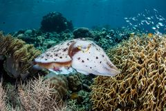 Broadclub Cuttlefish Laying Eggs in Fire Coral Colony stock photos