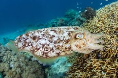 Broadclub Cuttlefish Lays Eggs in Fire Coral Colony royalty free stock photos