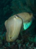 Broadclub cuttlefish. Macro portrait of a Broadclub cuttlefish Stock Image
