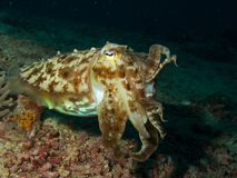 Broadclub cuttlefish Royalty Free Stock Photos