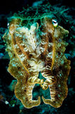 Broadclub cuttlefish sefia latimanus close up kapoposang indonesia scuba diving diver stock images