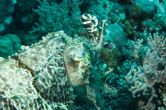 Broadclub cuttlefish sefia latimanus kapoposang indonesia scuba diver Royalty Free Stock Image