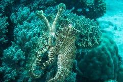 Broadclub cuttlefish sefia latimanus kapoposang indonesia scuba diving diver Royalty Free Stock Images