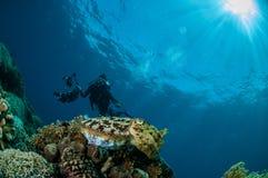Broadclub cuttlefish Sepia latimanus in Gorontalo, Indonesia. Royalty Free Stock Image