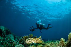 Broadclub cuttlefish Sepia latimanus in Gorontalo, Indonesia. Stock Image