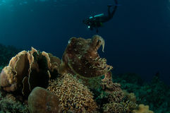 Broadclub cuttlefish Sepia latimanus in Gorontalo, Indonesia underwater photo. The cuttlefish is swimming above the coral reefs Stock Photo