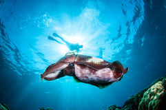 Broadclub cuttlefish Sepia latimanus in Gorontalo, Indonesia underwater photo. The cuttlefish is swimming above the coral reefs Stock Images