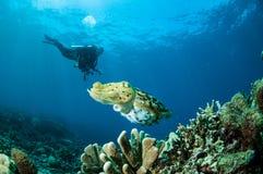 Broadclub cuttlefish Sepiowy latimanus w Gorontalo, Indonezja Zdjęcie Stock