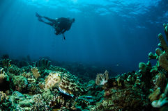 Broadclub cuttlefish Sepiowy latimanus w Gorontalo, Indonezja Fotografia Stock