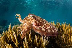 Broadclub Cuttlefish in Tropical Pacific Royalty Free Stock Photography