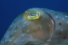 broadclubbläckfisk royaltyfria bilder