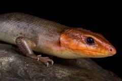 Broadhead skink Plestiodon laticeps 免版税图库摄影