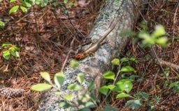 Broadhead Skink sur Forest Log images libres de droits