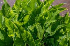 Broadleaf arrowhead plants stock image