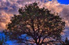Broadleaf boom bij de zonsondergang van de de zomeravond Donkere wolken in de hemel Royalty-vrije Stock Foto's