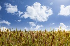 Broadleaf Cattail Stock Image