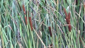 Broadleaf cattail Typha latifolia. Fresh bright green broadleaf cattail reeds. stock video footage