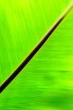 Broadleaf Fern. Close-up of a broadleaf fern leaf Stock Photos